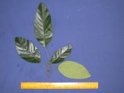 Capparis aff. osmantha Leaf