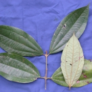 Caryodaphnopsis tomentosa Leaf