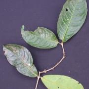 Cassipourea 'hoja_grande' Flower Leaf