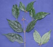 Cassipourea 'enana' Flower Leaf