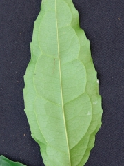 Cassipourea 'enana' Leaf