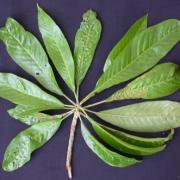 Chromolucuma aff. rubriflora Leaf
