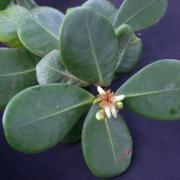 Clusia cretosa Flower Leaf