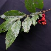 Cojoba 'hoja_grande' Fruit Leaf