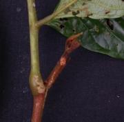 Cojoba 'hoja_grande' Leaf