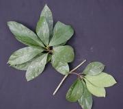 Cordia sp.6 Leaf