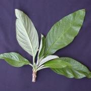 Cordia sp.7 Leaf
