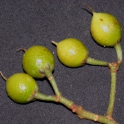 Cybianthus sp.1 Fruit