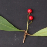 Cybianthus sp.1 Fruit Leaf