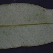 Cybianthus sp.1 Leaf
