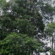 Diplotropis purpurea