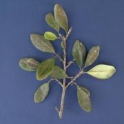 Erythroxylum 'parita' Leaf