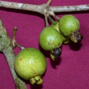 Eugenia sp.6 Fruit