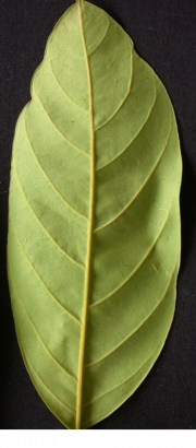 Guarea 'sherman' Leaf