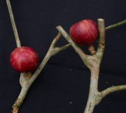 Guarea 'arbusto' Fruit
