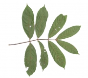 Guarea bullata Leaf