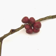 Guarea ternifoliola Fruit