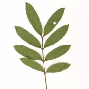 Guarea ternifoliola Leaf
