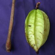 Herrania nycterodendron Fruit
