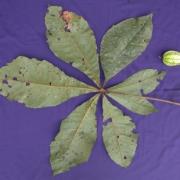 Herrania nycterodendron Fruit Leaf