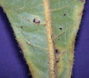Herrania nycterodendron Leaf