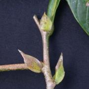 Inga bella Leaf