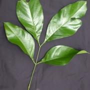 Inga capitata Leaf