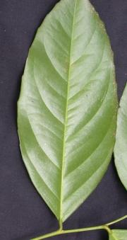 Lecointea aff. amazonica Leaf