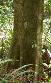 Lecointea aff. amazonica Trunk