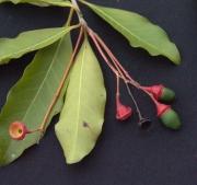 Licaria 'arco_seco' Fruit
