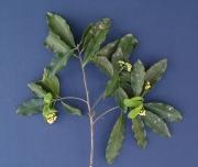 Licaria 'arco_seco' Flower Leaf
