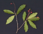 Licaria 'arco_seco' Fruit Leaf