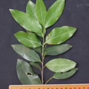 Licaria misantlae Flower Leaf