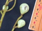 Meliosma 'grandifolia' Fruit