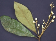 Meliosma 'grandifolia' Fruit Leaf