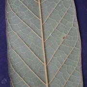 Meliosma 'grandifolia' Leaf