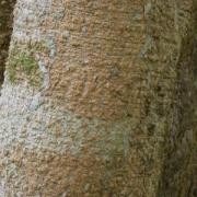Myroxylum balsamum Bark