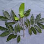 Myroxylum balsamum Fruit Leaf