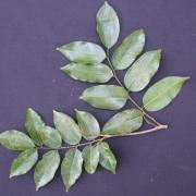 Myroxylum balsamum Leaf