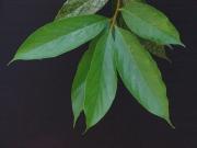 Nectandra 'fuzzy' Leaf