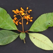 Neea 'roja' Fruit Leaf