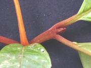 Neea 'roja' Leaf