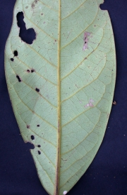 Ocotea sp.19 Leaf