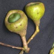 Ocotea jorge-escobarii Fruit