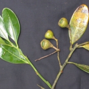 Ocotea jorge-escobarii Fruit Leaf