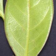 Ocotea jorge-escobarii Leaf
