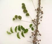 Phyllanthus 'chagres' Fruit Leaf