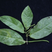 Piper arboreum Fruit Leaf