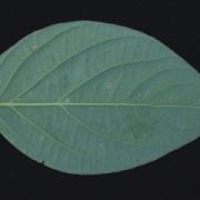 Piper schiedeanum Leaf