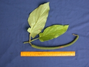 Piper longispicum Fruit Leaf